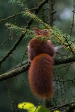 Preview iPhone wallpaper Squirrel, tail, tree