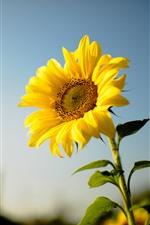 Preview iPhone wallpaper Sunflower, yellow petals, hazy background