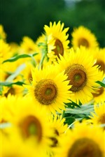 미리보기 iPhone 배경 화면 해바라기, 노란 꽃잎, 흐릿한, 여름