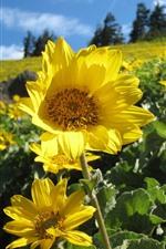 Sunflowers, yellow petals
