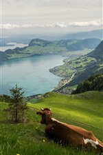 Preview iPhone wallpaper Switzerland, river, mountains, slope, cow