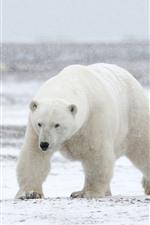 Preview iPhone wallpaper Three polar bears, snow
