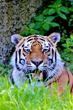 Preview iPhone wallpaper Tiger rest, face, teeth, grass, wildlife