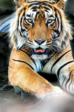 Preview iPhone wallpaper Tiger rest in the water, face, front view