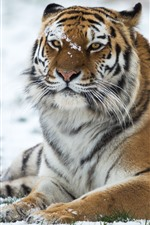 Preview iPhone wallpaper Tiger, wildlife, snow, winter