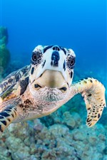Preview iPhone wallpaper Turtle look at you, underwater