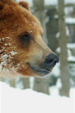 Two brown bears face to face