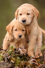 Preview iPhone wallpaper Two cute puppies