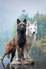 Preview iPhone wallpaper Two dogs, lake, water, wet
