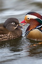 Preview iPhone wallpaper Two mandarin ducks, water