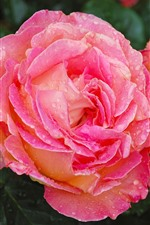 Preview iPhone wallpaper Two pink roses, water droplets, petals, flowers