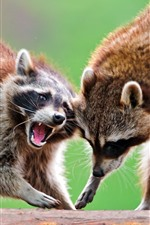 Preview iPhone wallpaper Two raccoons, wildlife