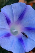 Preview iPhone wallpaper Violacea flower, insect