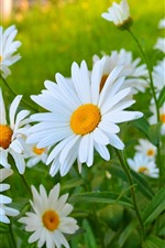 Preview iPhone wallpaper White chamomile flowers, petals, summer