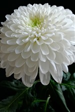 White chrysanthemum, petals, black background