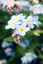 White forget-me-not