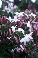 iPhone обои Белые маленькие цветы, розовые почки