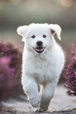 Preview iPhone wallpaper White puppy running, purple lavender flowers