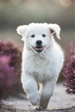 White puppy running, purple lavender flowers