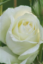 White rose, petals, green background
