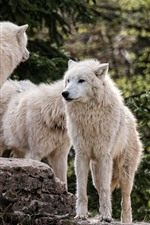 Preview iPhone wallpaper White wolf family