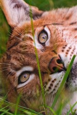 Wild cat, lynx, face, sleep, grass