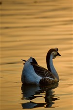 Preview iPhone wallpaper Wild goose, pond, glare