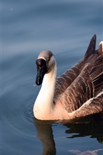 Preview iPhone wallpaper Wild goose, water, pond
