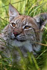 Preview iPhone wallpaper Wildcat, lynx, grass, rest