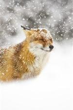 미리보기 iPhone 배경 화면 야생 동물, 여우, 눈 덮인, 겨울