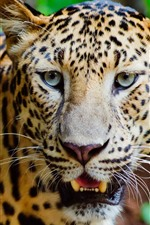 Preview iPhone wallpaper Wildlife, leopard, face, nose, teeth, eyes