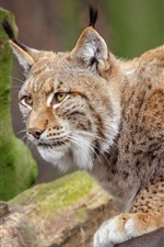Preview iPhone wallpaper Wildlife, lynx, paws