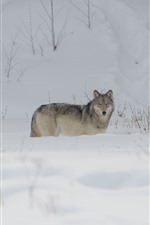 Preview iPhone wallpaper Wolf, snow, winter, cold
