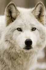 Preview iPhone wallpaper Wolves, forest, front view, face