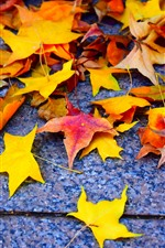 Yellow and red maple leaves, ground
