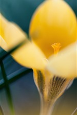 Preview iPhone wallpaper Yellow crocus, hazy
