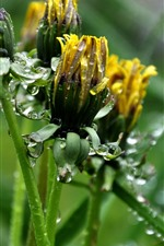 Preview iPhone wallpaper Yellow dandelions flowers, water droplets