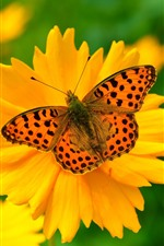 Yellow flower, petals, butterfly