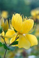 Yellow flowers, petals, pistil, hazy background