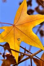 Yellow maple leaf, twigs, autumn