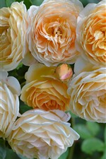Preview iPhone wallpaper Yellow roses, flowers, green leaves