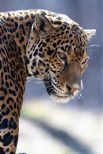 Preview iPhone wallpaper Zoo animal, jaguar, look back