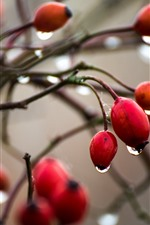 Preview iPhone wallpaper Berries, twigs, water droplets