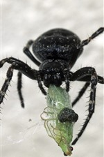 미리보기 iPhone 배경 화면 검은 거미, 곤충