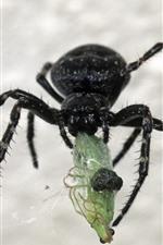 Aranha preta, inseto