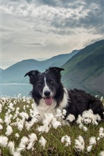 Border collie, dog, white flowers, lake, mountains