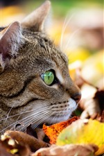 Cat, face, green eyes, leaves, autumn