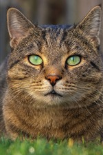 Cat rest, front view, face, green eyes, grass