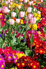 Colorful flowers, tulips, park