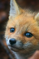 Cute little fox look at you, eyes, face, ears